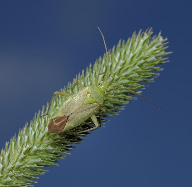 Closterotomus norvegicus, July