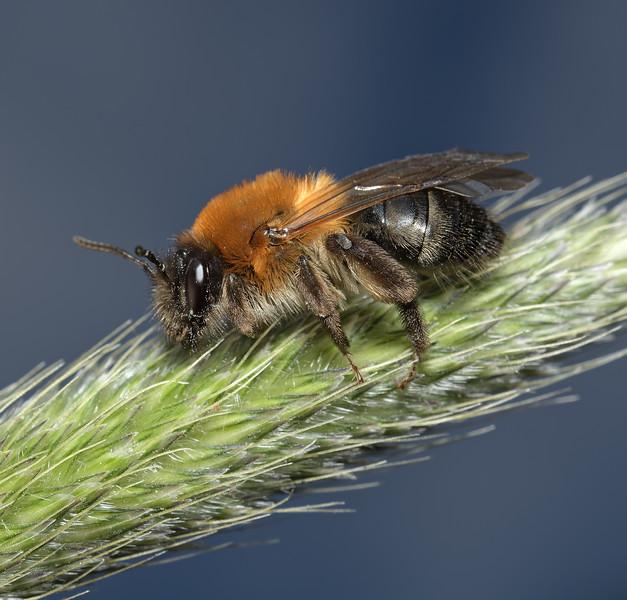 Andrena haemorrhoa female, April