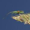 Megaloceroea recticornis, August