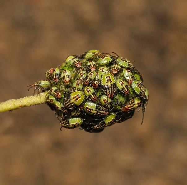 Parent Bug - Elasmucha grisea nymphs, August
