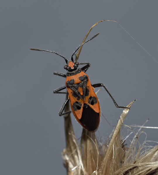 Corizus hyoscyami, September