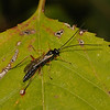Ichneumon Wasp, October