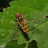 Episyrphus balteatus male, August