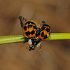 Ladybird metamorphosis, October