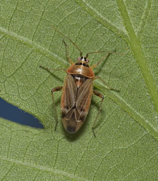 Harpocera thoracica female, April