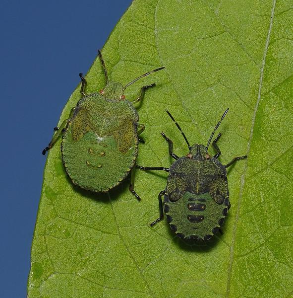 Green Shieldbug - Palomena prasina nymphs, September
