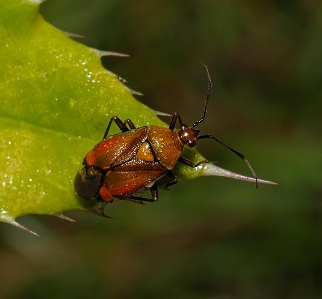 Deraeocoris ruber, August