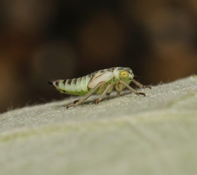 Leafhopper nymph, June