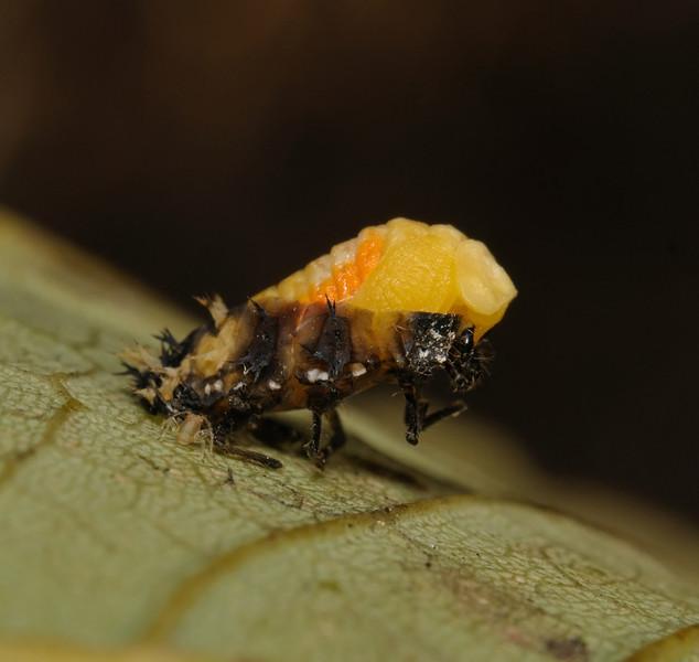 Ladybird larva metamorphosis, October