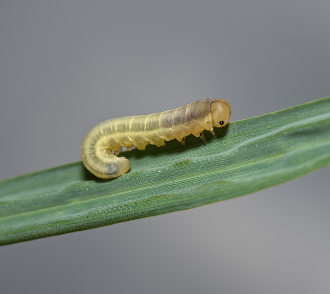 Sawfly larva, June