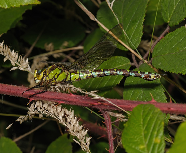 Female Southern Hawker - Aeshna cyanea, August