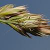 Stenotus binotatus female, June