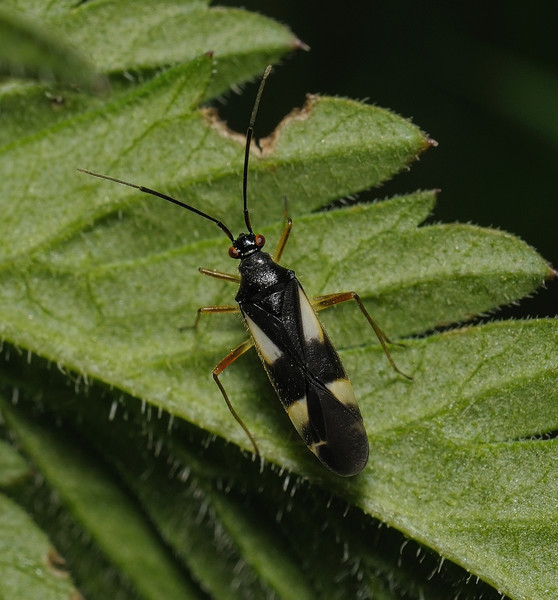 Dryophilocoris flavoquadrimaculatus, April