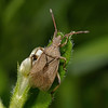 Ceraleptus lividus, May