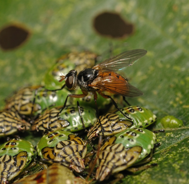 Subclytia rotundiventris laying eggs on Parent bugs, August