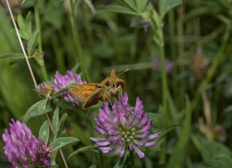 Large Skipper, June