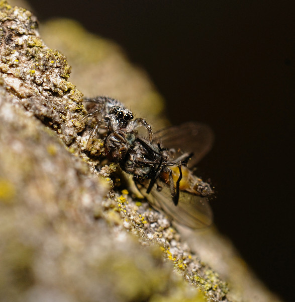 Salticus scenicus with prey, March