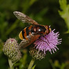 Volucella zonaria male, July