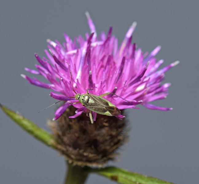 Closterotomus trivialis, June