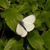 Green-veined White, May