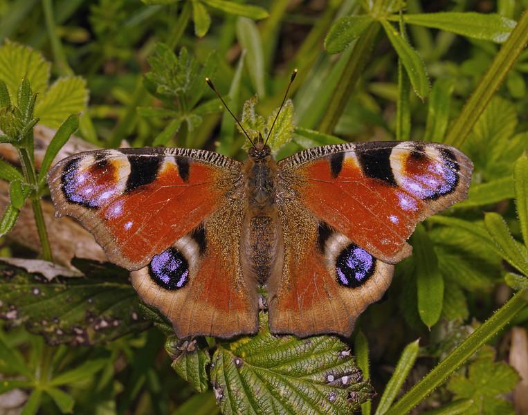Peacock, April