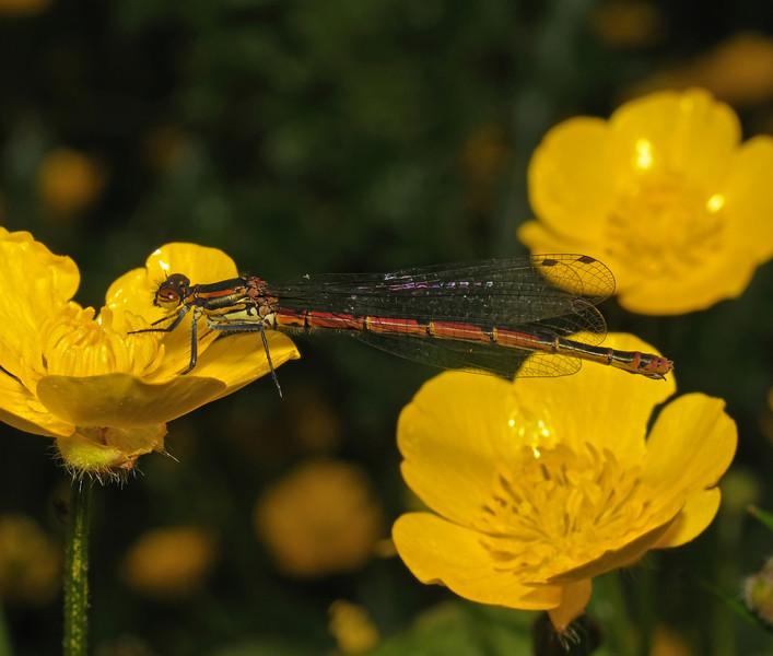 Female Large Red Damselfly - Pyrrhosoma nymphula, May