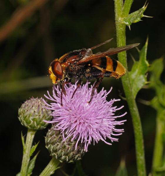 Volucella zonaria male, July