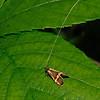 Longhorn Moth - Nemophora degeerella, June