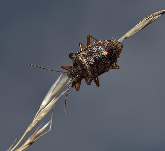 Forest Shieldbug - Pentatoma rufipes, August