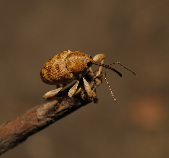 Weevil - Curculio sp, May