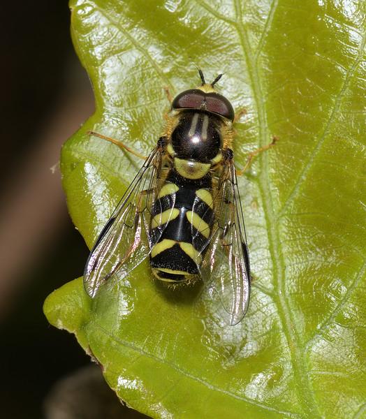 Dasysyrphus albostriatus, April