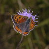 Small Copper, July