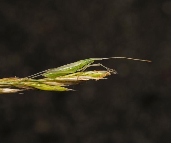 Megaloceroea recticornis, June