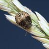 Tortoise Shieldbug - Eurygaster testudinaria nymph, June