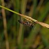 Ichneumon Wasp, August