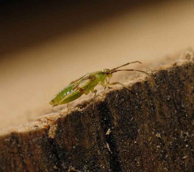 Dryophilocoris flavoquadrimaculatus nymph, April