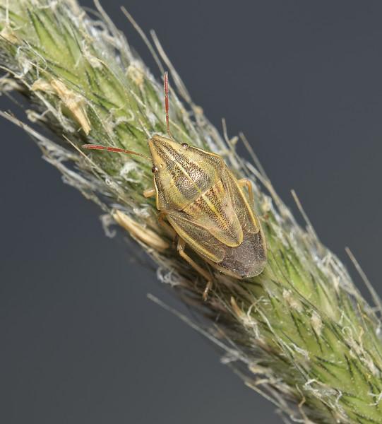 Bishop's Mitre Shieldbug - Aelia acuminata, April