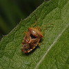 Parent Bug - Elasmucha grisea, May