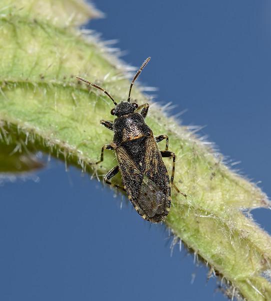 Heterogaster urticae, August