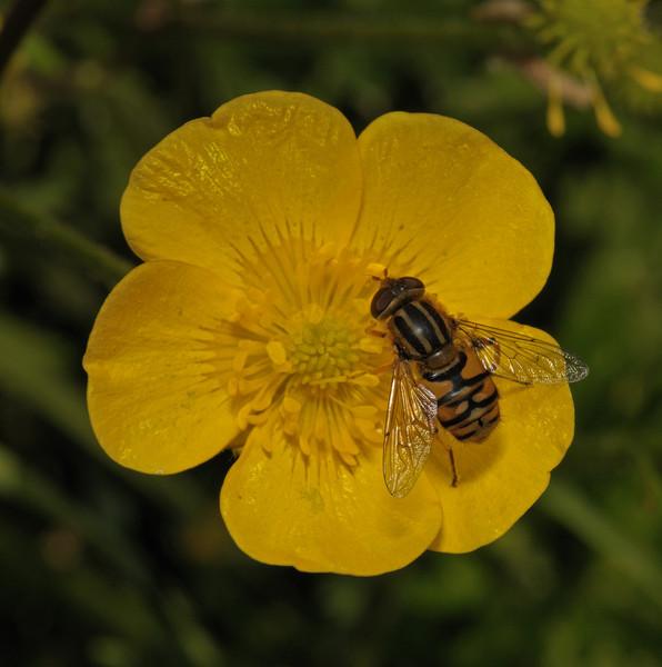 Parhelophilus frutetorum, May