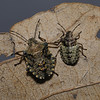 Forest Shieldbug - Pentatoma rufipes mid and final instar nymphs, May
