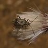 Stictopleurus punctatonervosus female, August