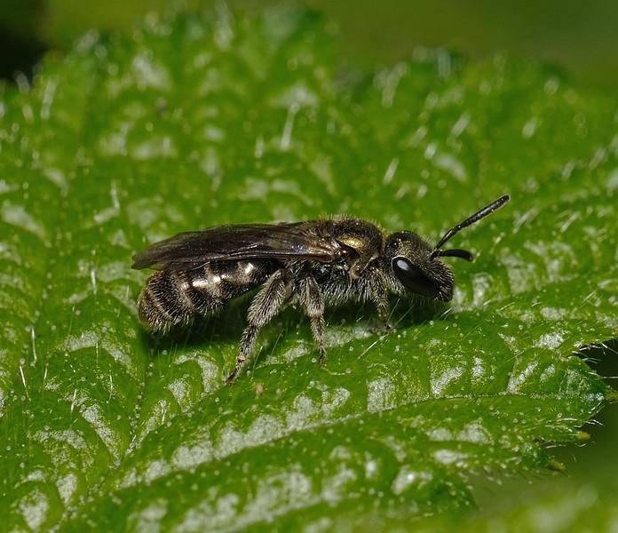 Lasioglossum sp, April