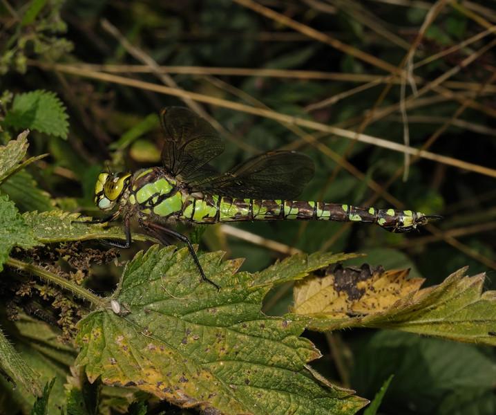 Southern Hawker - Aeshna cyanea, September