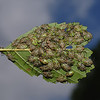 Parent Bug - Elasmucha grisea nymphs, August