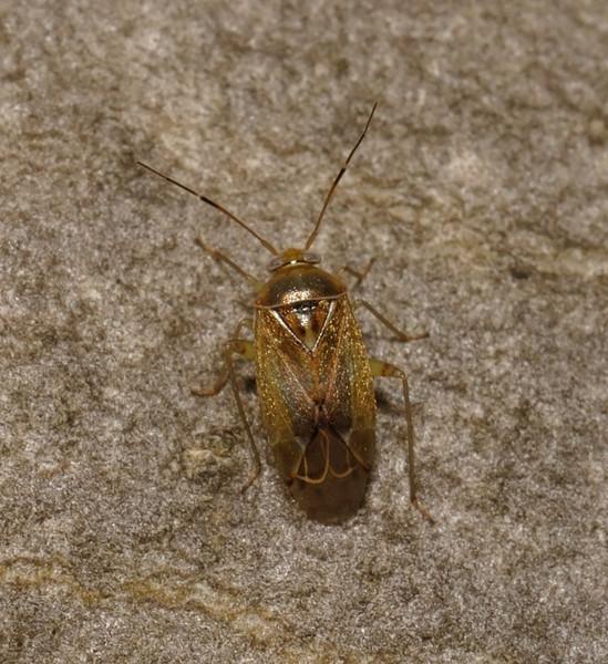 Pinalitus cervinus, November