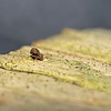 Dicyrtomina sp, January