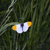 Orange Tip male, May
