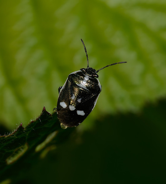 Crucifer Shieldbug - Eurydema oleracea, May