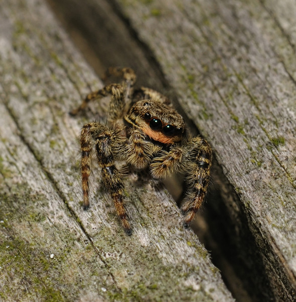 Marpissa muscosa female, September